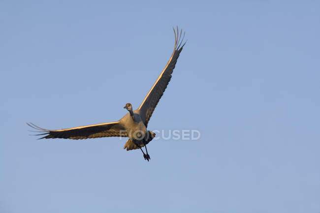 Bottom view of Sandhill Crane in flight over clear sky — Stock Photo