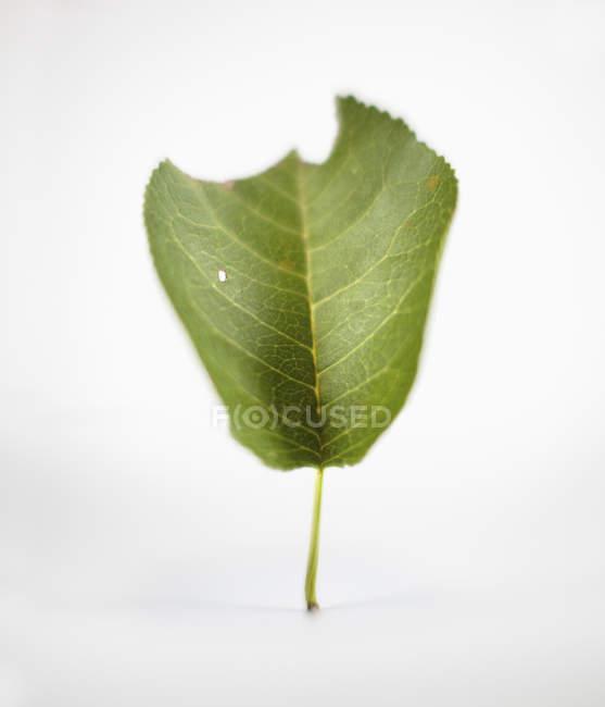 Закри зелений лист на білому тлі — стокове фото