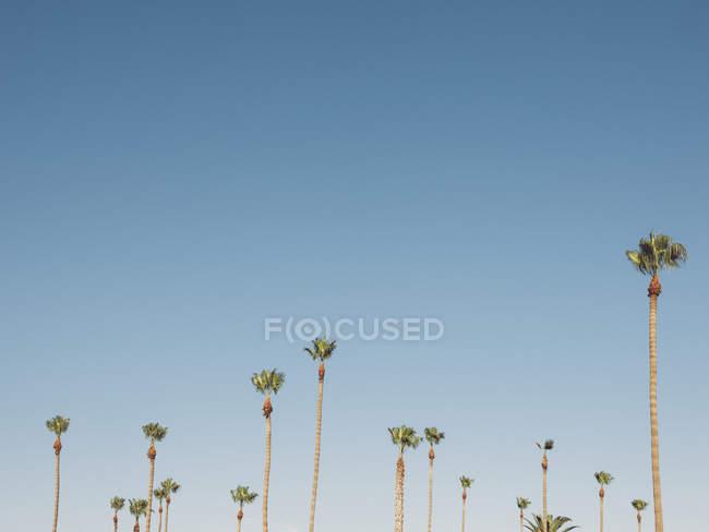 Низький кут огляду пальм, що ростуть проти чисте небо — стокове фото
