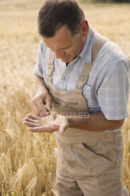 Mature farmer examining wheat crop while standing at farm — Stock Photo