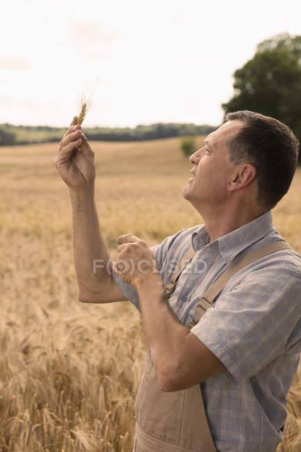 Усміхаючись зрілою людиною, дивлячись на вухо пшениці, поки стоїть у фермі — стокове фото