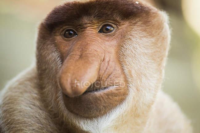 Close-up portrait of proboscis monkey — Stock Photo