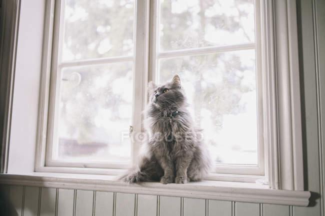 Seitenansicht des Maine Coon, der auf der Fensterbank sitzt und wegschaut — Stockfoto