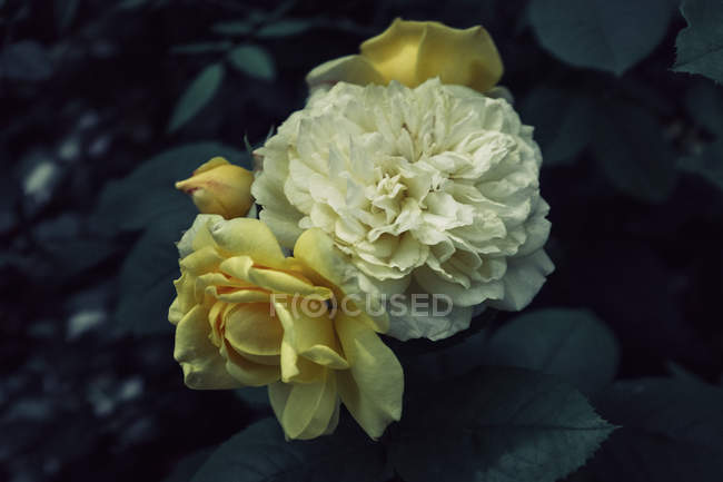 Close up view of yellow blooming flowers on bush — Stock Photo
