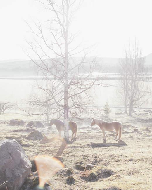 Cavalli in piedi da alberi nudi nel campo nella giornata di sole — Foto stock