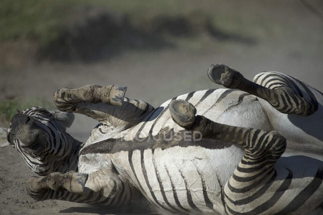 Close-up of zebra lying in field — Stock Photo