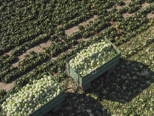 Vista di angolo alto di mucchio di cavoli in rimorchi a campo — Foto stock