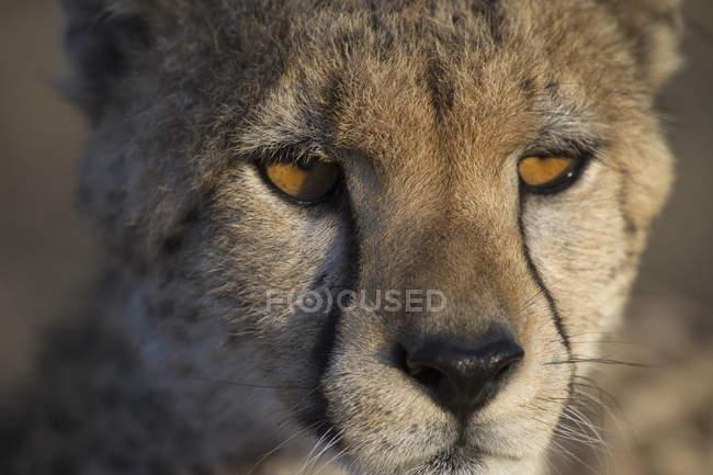 Gros plan de guépard regarder loin — Photo de stock