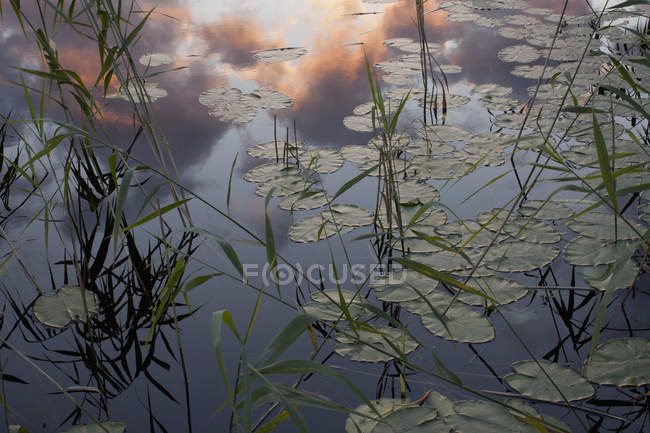 Low angle view of lily pads in pond at sunset — Stock Photo
