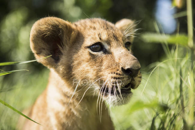 Close-up of lion cub mirando lejos - foto de stock