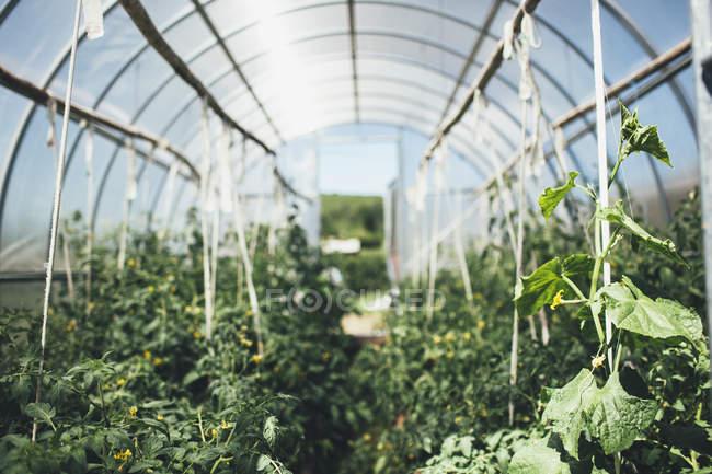 Reihen von Gemüsepflanzen, die im Gewächshaus wachsen — Stockfoto
