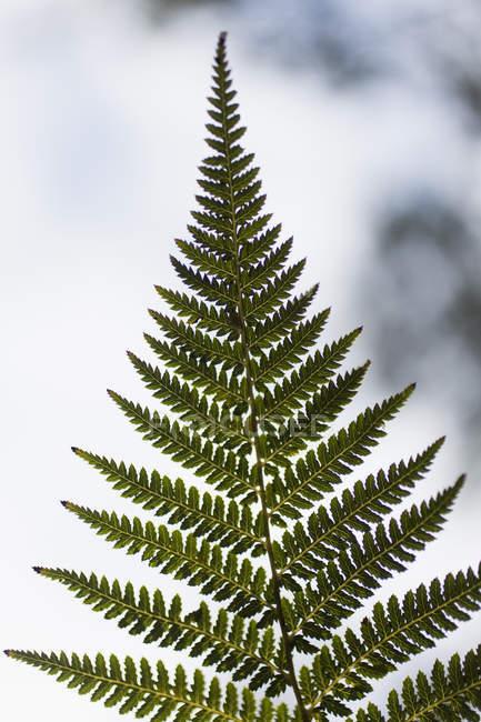 Chiuda sulla vista di foglie di felce — Foto stock