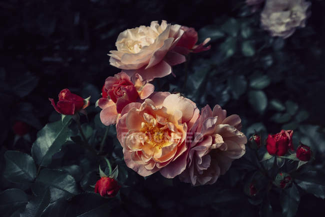 Close up view of roses blooming flowers and leaves — Stock Photo