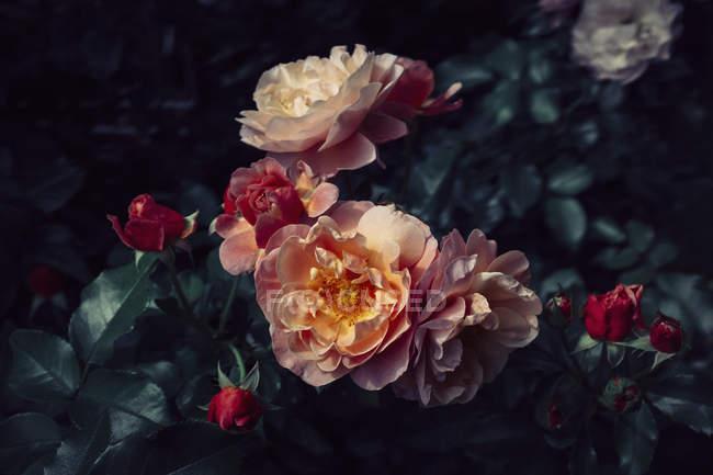 Nahaufnahme der Rosen blühen Blumen und Blätter — Stockfoto