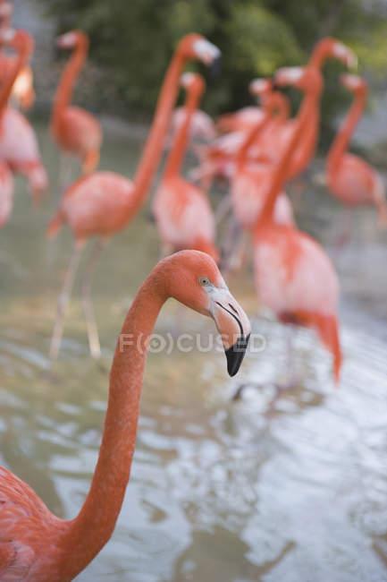 Herde von amerikanischen Flamingos im See Natur — Stockfoto