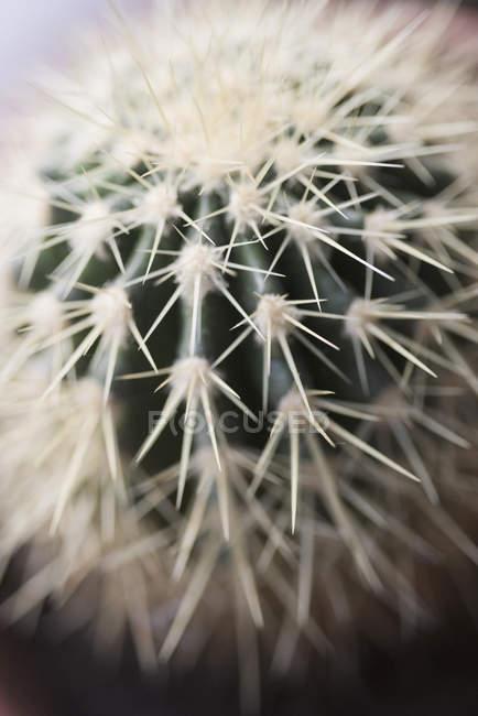 Close-up vista de espinhos de cactos no topo do barril — Fotografia de Stock