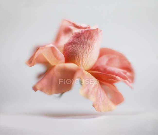 Bouchent la vue de fleur rose fanée sur fond blanc — Photo de stock