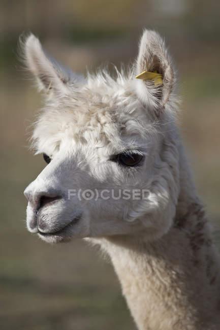 Portrait de moelleux Llama regarder loin — Photo de stock