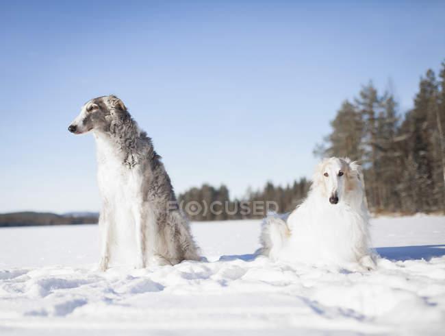 Борзой собаки смотрят в сторону, отдыхая на заснеженном поле — стоковое фото