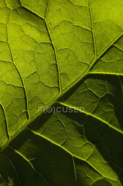 Макрос постріл свіжий зелений лист вен — стокове фото