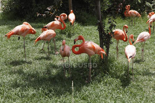 Manada de flamencos rosados césped verde - foto de stock