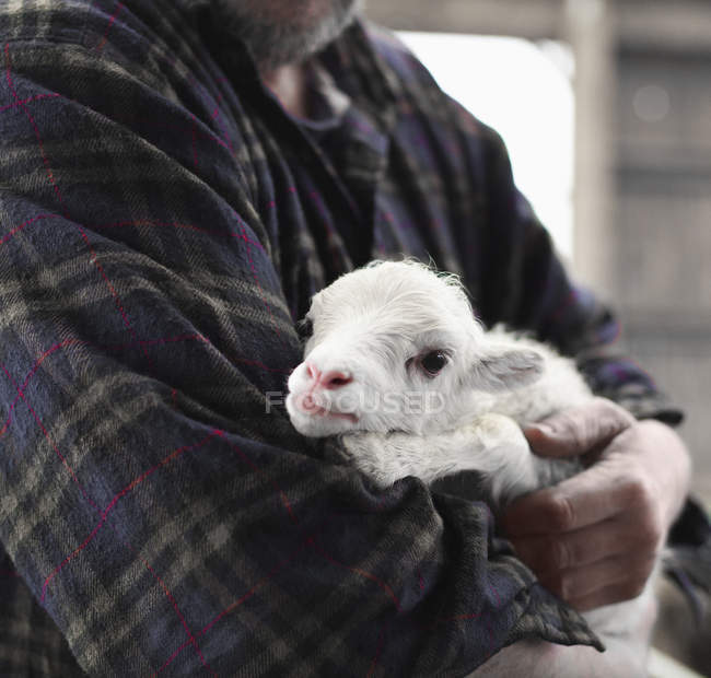 Середина человека держит ягненка детеныша — стоковое фото