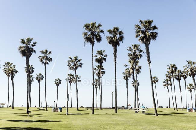 Дерева пальми ростуть на травою поле проти неба — стокове фото