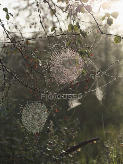 Ragno webs modelli sui rami in giornata di sole — Foto stock