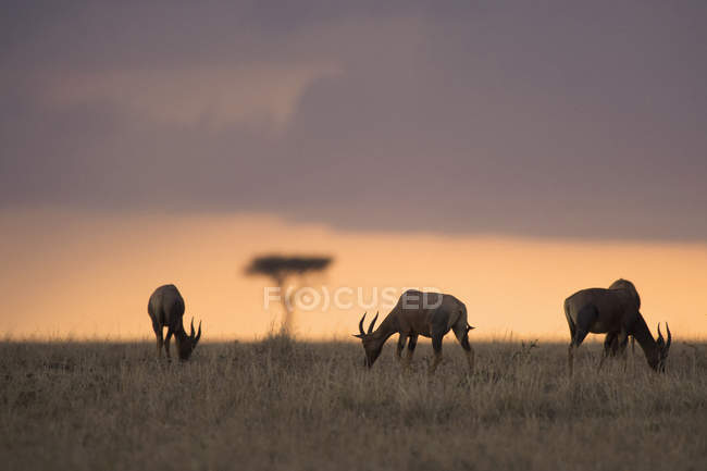 Waterbucks grazing on field during sunset — Stock Photo