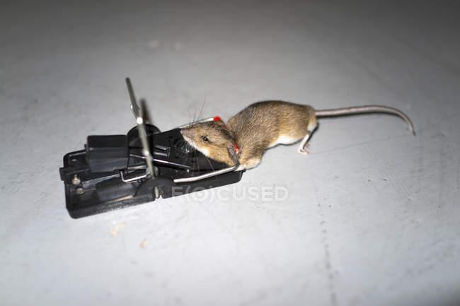 Vue de la forte inclinaison de souris sur piège sur plancher — Photo de stock