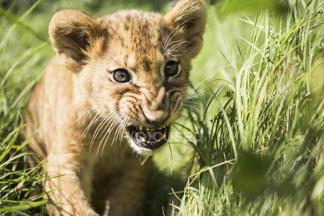 Nahaufnahme eines Löwenjungen, der im Gras brüllt — Stockfoto