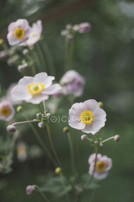 Close up of white poppy flowers blooming at park — Stock Photo ...