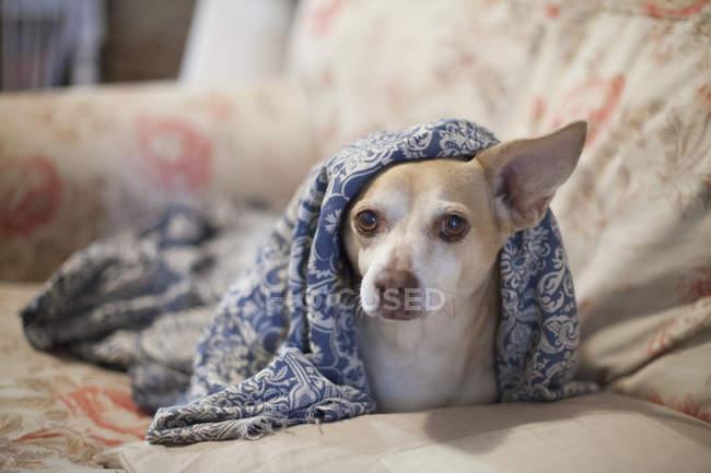 Chihuahua couché sous la couverture sur le canapé et regardant la caméra — Photo de stock