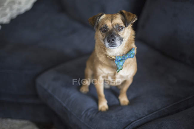 High angle portrait of dog on blue sofa at home — Stock Photo