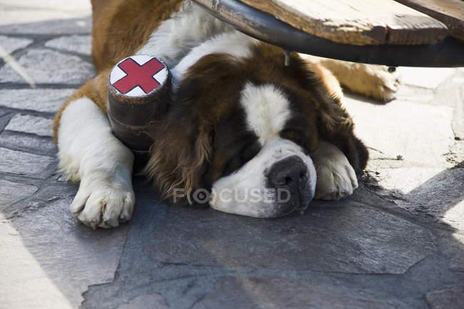 Chien St. Bernard avec collier de fiole couché sur le sol — Photo de stock