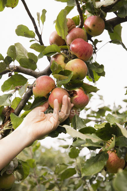 Crop female hand picking apple from tree in orchard — Stock Photo