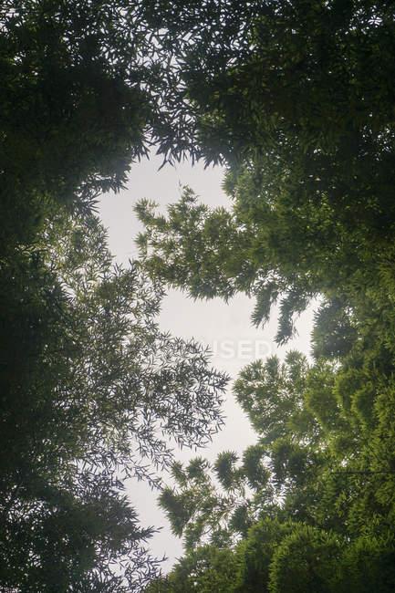 Diretamente abaixo vista de árvores verdes, Kyoto, Japão — Fotografia de Stock