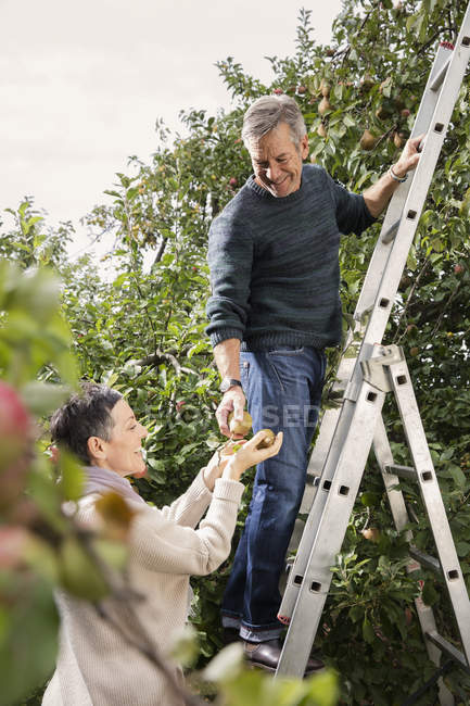 Happy man on ladder picking pears from tree with woman in orchard — Stock Photo