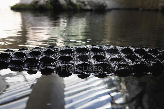 Cocodrilo de cultivo nadando en el agua en la naturaleza - foto de stock