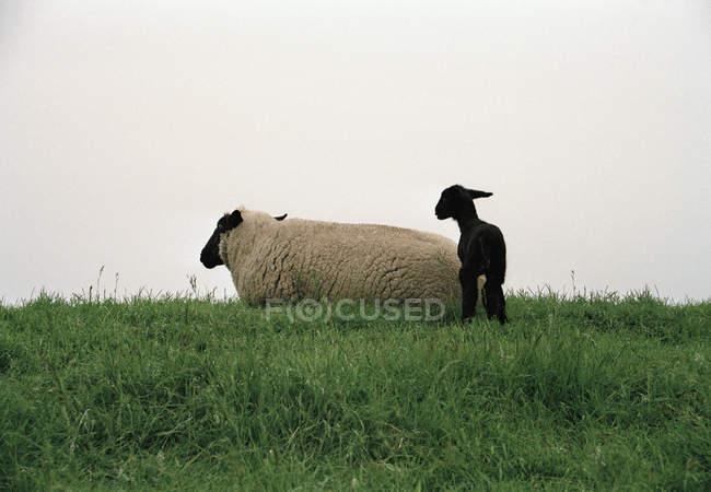 Mère et bébé moutons sur la pelouse verte contre ciel nuageux — Photo de stock