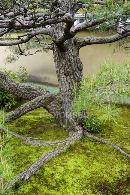 Дерево, растения против стены в заднем дворе, Киото, Япония — стоковое фото