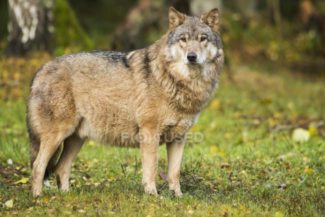 Полная длина вид волка в поле, Курильского озера, Камчатки, Россия — стоковое фото