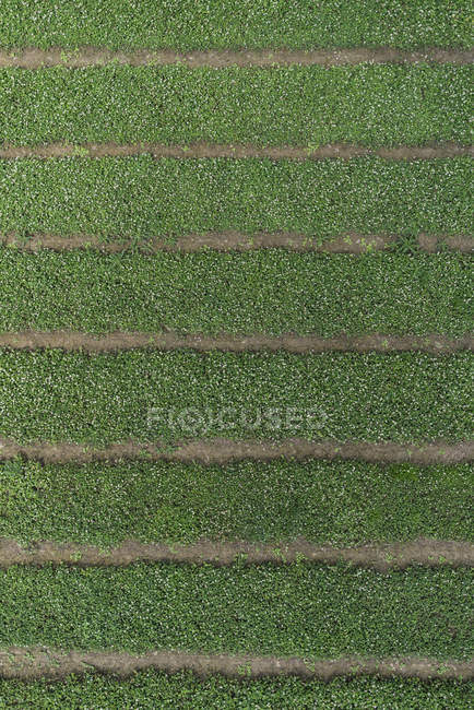 Full frame aerial view of crops growing in row at field — Stock Photo