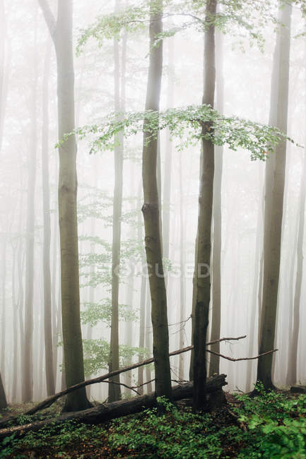 Tall trees in forest during foggy weather — Stock Photo