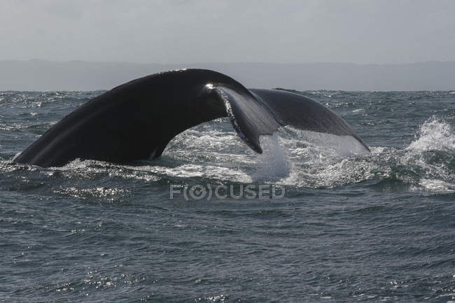 Humpback whale diving in sea — Stock Photo