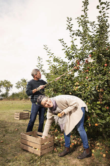Cheerful couple picking apples in orchard — Stock Photo