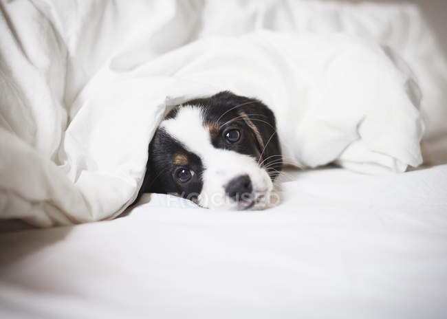 Portrait of puppy covered in blanket on bed — Stock Photo