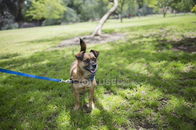 Portrait of dog on leash at park lawn — Stock Photo