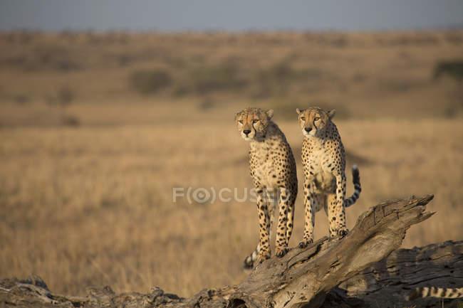 Cheetahs standing on fallen tree in field — стокове фото