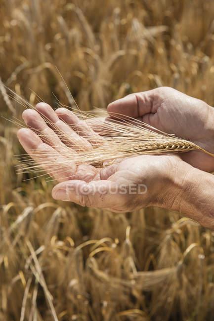 Nahaufnahme der menschlichen Hände halten Ähre auf Bauernhof — Stockfoto